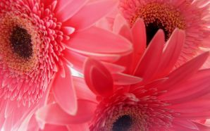 2012 Mother's day beautiful flower - pink gerbera flowers
