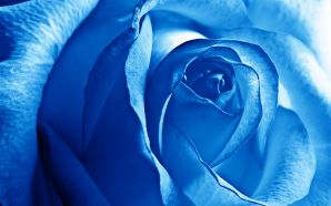 2012 Mother's day beautiful flower - blue rose