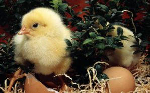 Free New Born Easter Day Chick Picture wallpaper