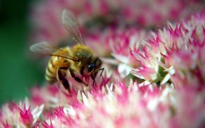 Autumn Free Wallpaper - Bee on autumn joy