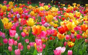 Dream Spring 2012 - beautiful tulip garden