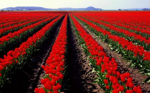 Dream Spring 2012 - rows of red tulips