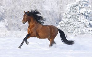 Horse wallpaper - Horse in snow