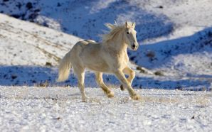 Horse wallpaper - white beauty